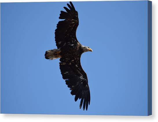 Bald Eagle Juvenile Soaring Canvas Print