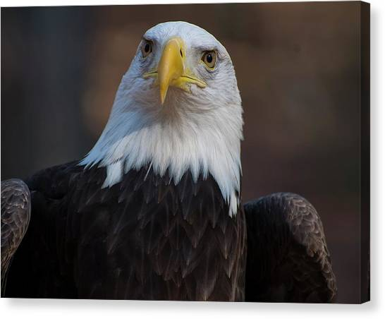 Bald Eagle Looking Right Canvas Print