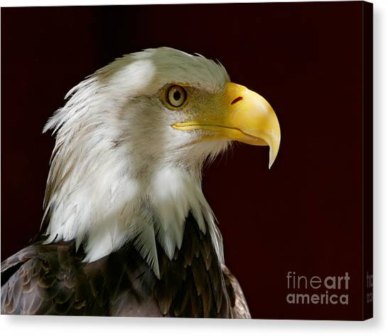 Bald Eagle - Majestic Portrait Canvas Print