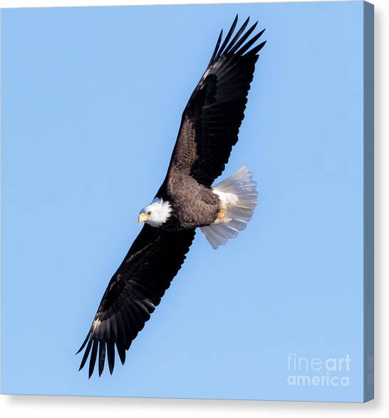 Bald Eagle Overhead  Canvas Print