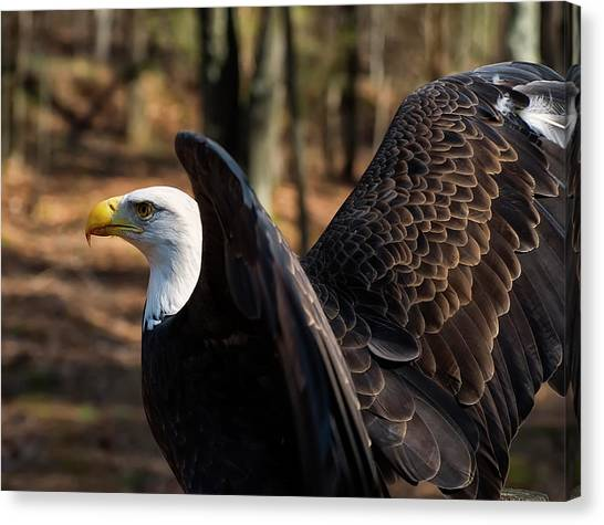 Bald Eagle Preparing For Flight Canvas Print