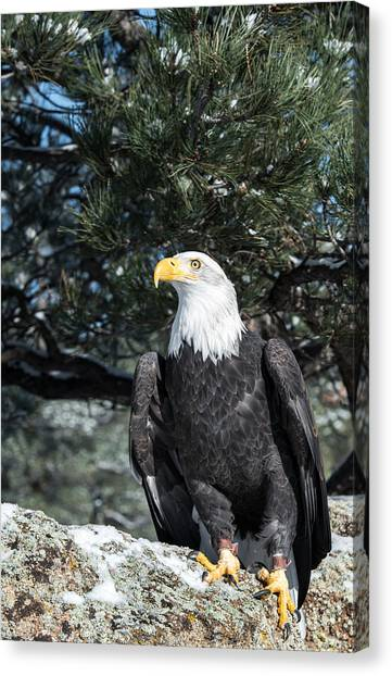 Bald Eagle Ready For Flight Canvas Print