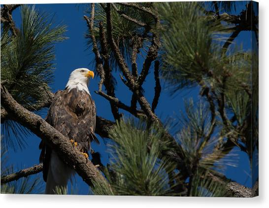 Bald Eagle Resting Canvas Print