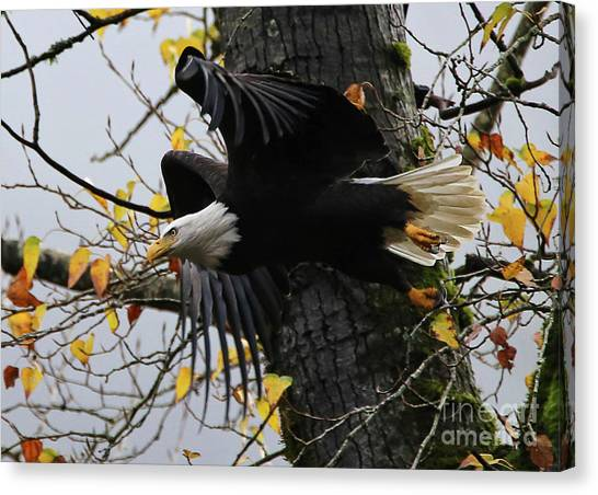 Bald Eagle Takes Flight Canvas Print