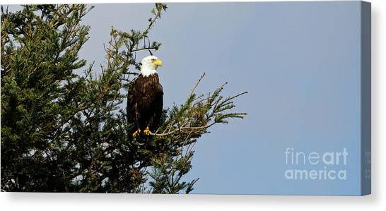 Bald Eagle - Taking A Break Canvas Print