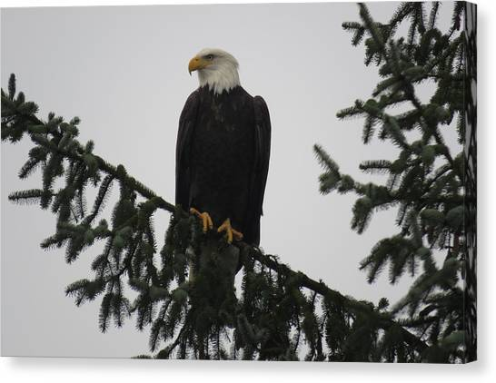 Bald Eagle Watching Canvas Print
