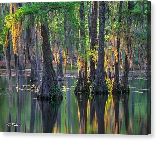 Baldcypress Trees, Louisiana Canvas Print