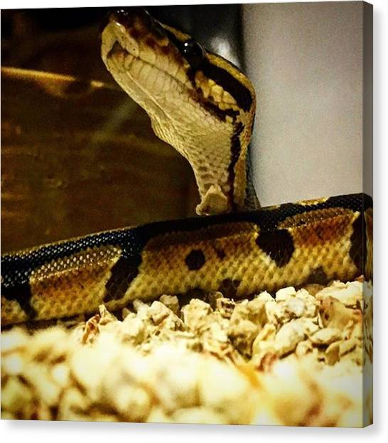 Pythons Canvas Print - Ball Python Posing For A Photo by Devin Workman