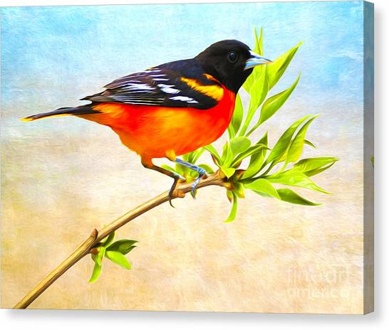 Orioles Canvas Print - Baltimore Oriole Bird by Laura D Young