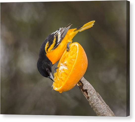 Baltimore Oriole On Orange Canvas Print