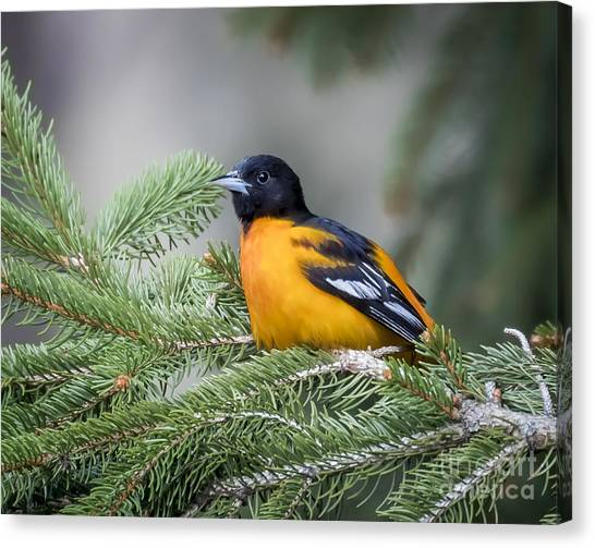 Baltimore Oriole Canvas Print by Ricky L Jones