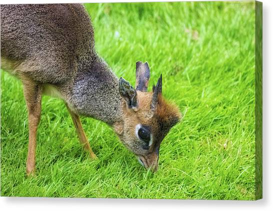 Small Mammals Canvas Print - Bambi Eyes by Martin Newman