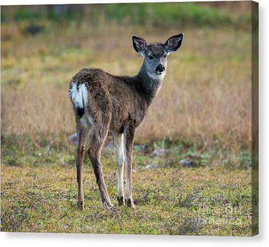 White-tailed Deer Canvas Print - Bambi by Mike Dawson