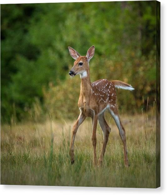 Bambi // Whitefish, Montana  Canvas Print