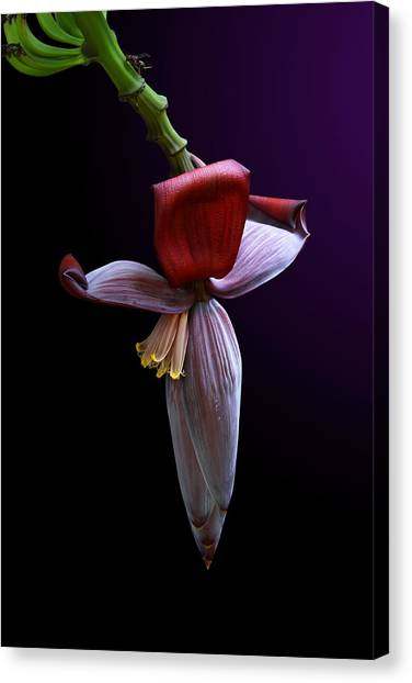 Banana Flower Portrait Canvas Print