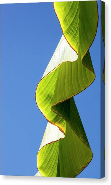 Banana Tree Canvas Print - Banana Leaf by Hans Mauli