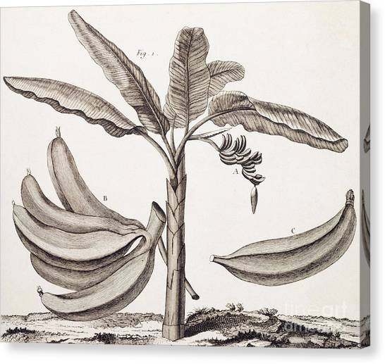 Banana Tree Canvas Print - Banana Tree by Denis Diderot