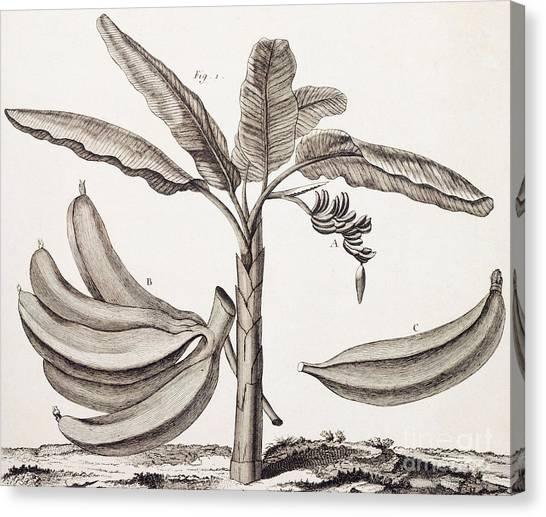 Banana Tree Canvas Print - Banana Tree by Denis Diderot
