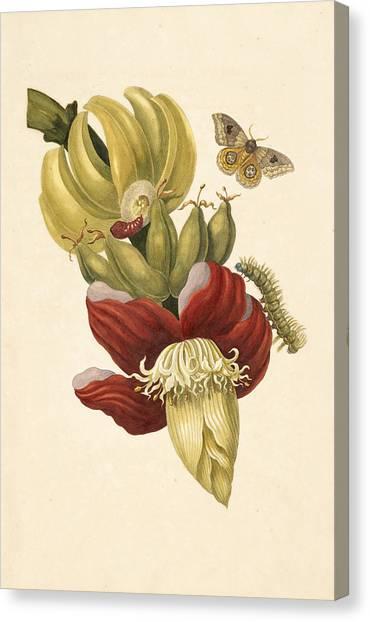 Banana Tree Canvas Print - Banana Tree Flower by Celestial Images