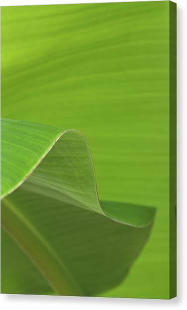 Banana Tree Canvas Print - Banana Tree Leaves by Richard Rizzo