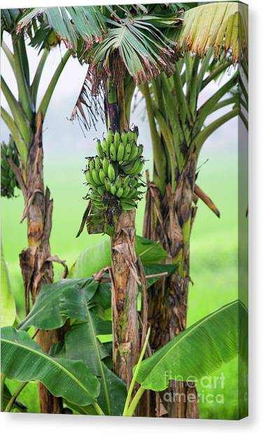 Banana Tree Canvas Print - Banana Tree Vietnam  by Chuck Kuhn
