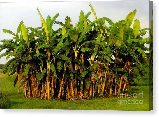 Banana Tree Canvas Print - Banana Trees by David Lee Thompson