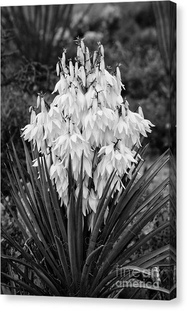 Banana Yucca In Bloom Canvas Print
