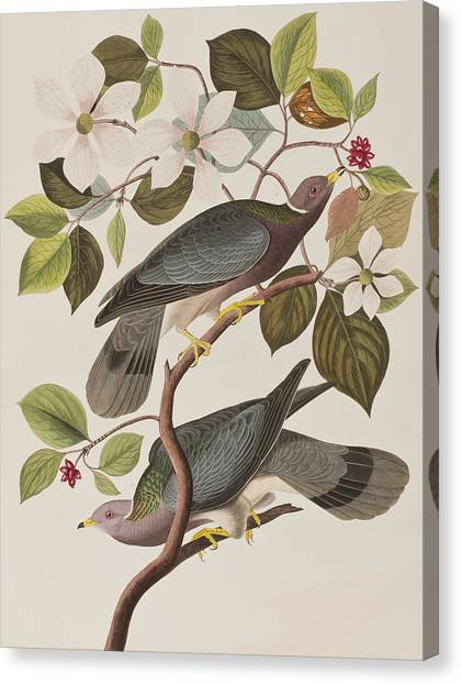 Pigeons Canvas Print - Band-tailed Pigeon  by John James Audubon
