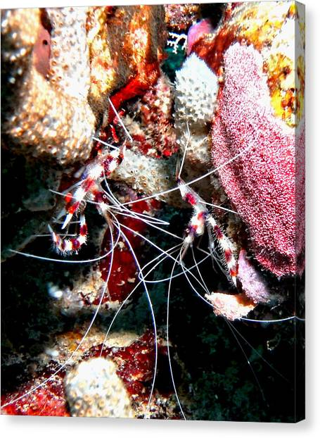 Banded Coral Shrimp - Caught In The Act Canvas Print