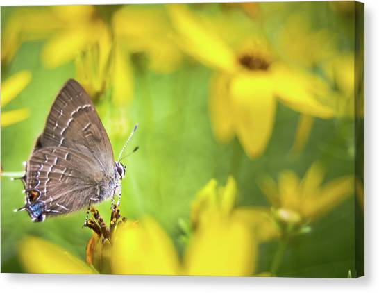 Banded Hairstreak On Coreopsis Canvas Print