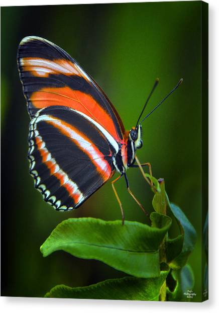Canvas Print - Banded Orange Longwing Butterfly by Peg Runyan