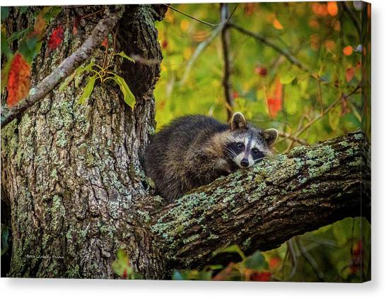 Bandit #2 Nap Time Canvas Print