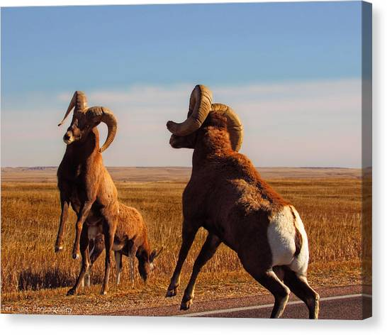 Bang Of The Bighorn Canvas Print