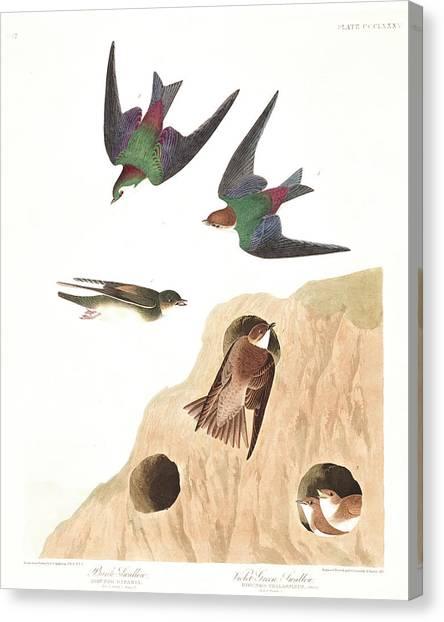 Swallows Canvas Print - Bank Swallow by John James Audubon