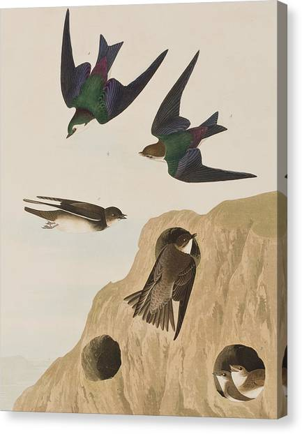 Swallow Canvas Print - Bank Swallows by John James Audubon
