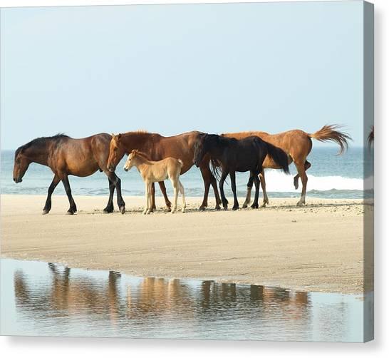 Banker Horses - 1 Canvas Print