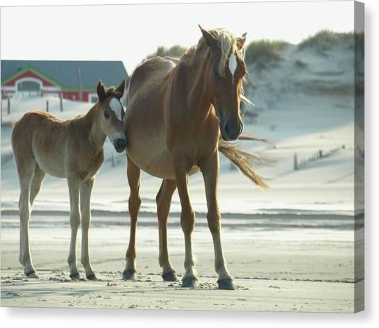 Banker Horses - 3 Canvas Print