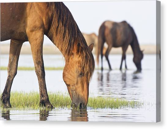 Banker Horses On Tidal Flat Canvas Print