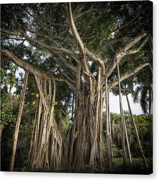 Canvas Print featuring the photograph Banyan Tree At Bonnet House by Belinda Greb
