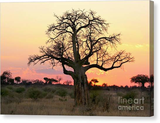 Baobab Tree At Sunset  Canvas Print