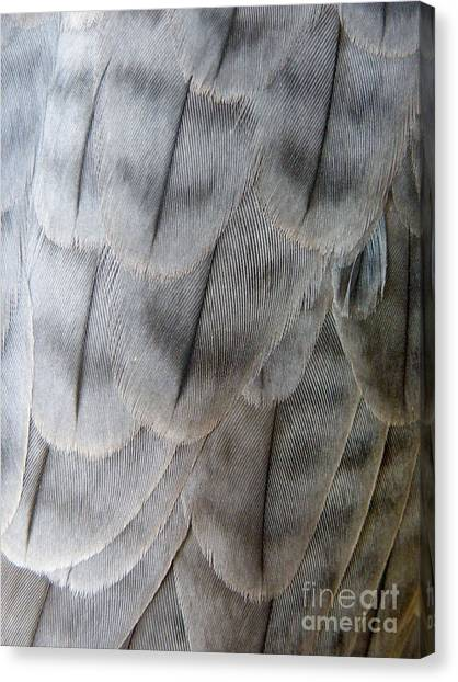 Barbary Falcon Feathers Canvas Print