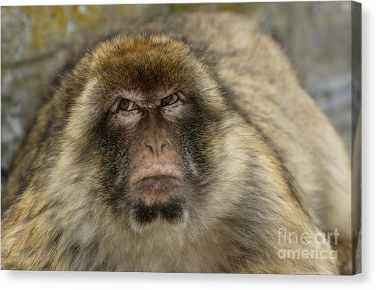 Barbary Macaque Looking Away In Annoyance Canvas Print by Sami Sarkis