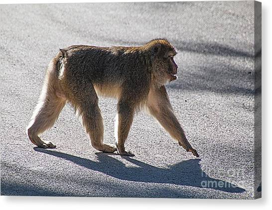 Barbary Macaque, Morocco Canvas Print by Jim Wright