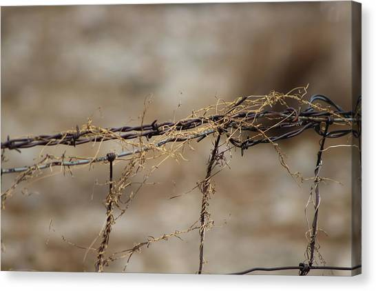 Barbed Wire Entwined With Dried Vine In Autumn Canvas Print