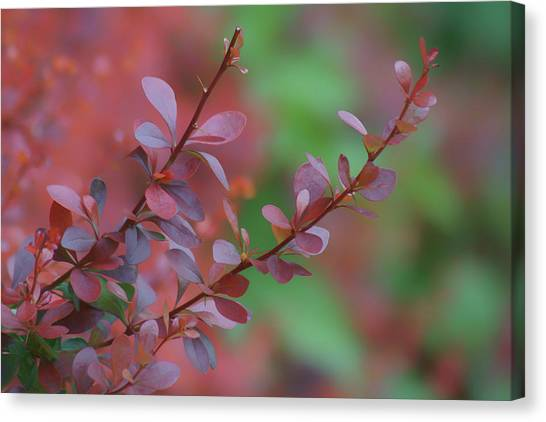 Pigmy Canvas Print - Barberry - Leaves by Nikolyn McDonald