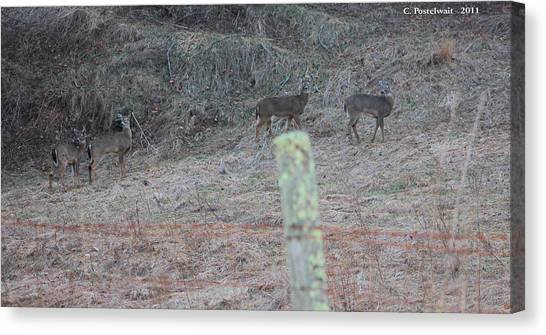 Barbwire And Whitetails Canvas Print by Carolyn Postelwait
