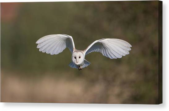 Barn Owl Approaching Canvas Print