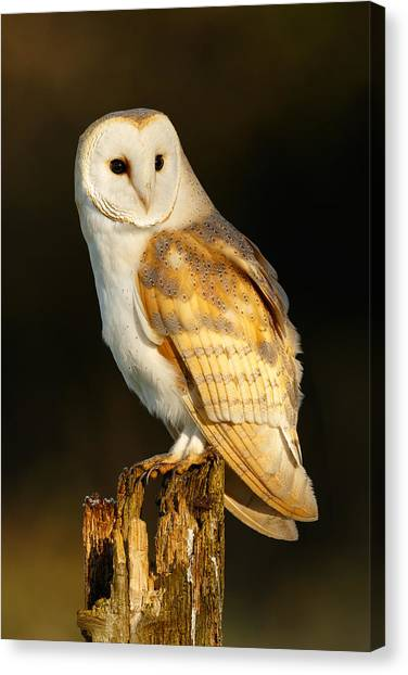 Barn Owl At Dawn Canvas Print