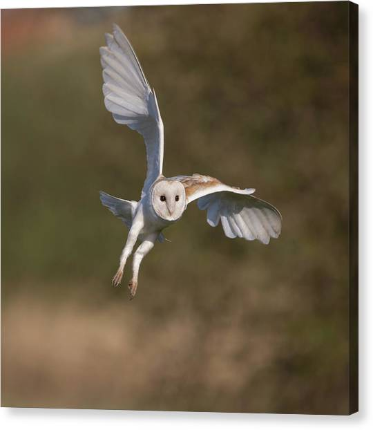 Barn Owl Cornering Canvas Print
