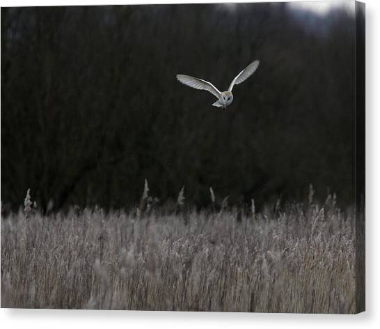Barn Owl Hunting At Dusk Canvas Print